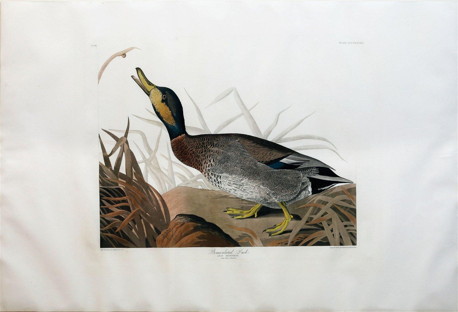 Audubon Aquatint, Bemaculated Duck
