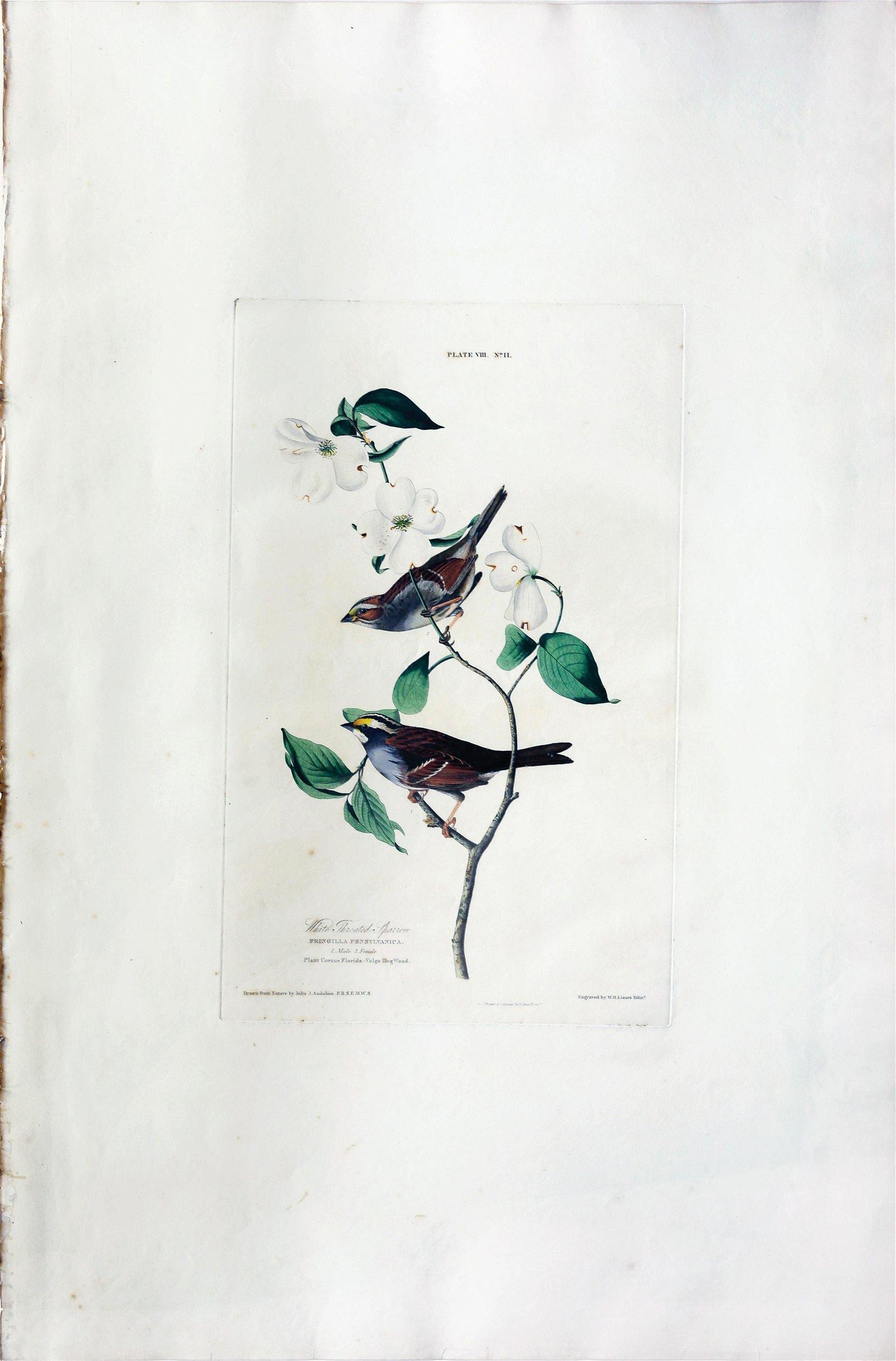 Audubon Aquatint, White Throated Sparrow