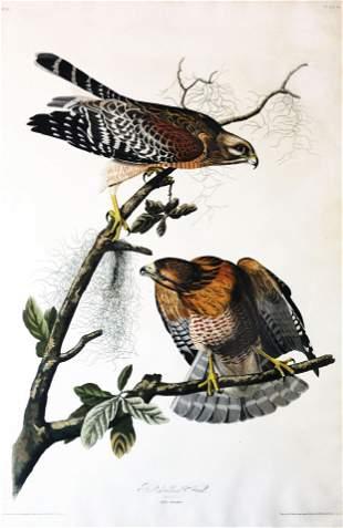 Audubon Aquatint, Red-Sholdered Hawk
