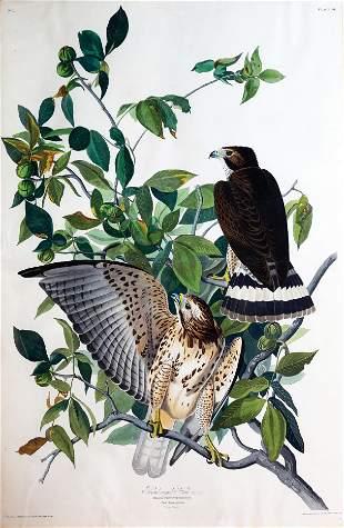 Audubon Aquatint, Broad-Winged Hawk