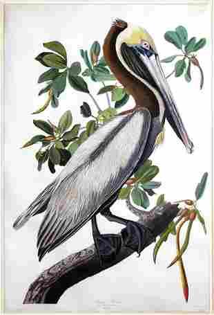 Audubon Aquatint, Brown Pelican