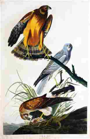 Audubon Aquatint, Marsh Hawk