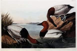 Audubon Aquatint, Canvas Backed Duck
