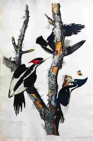 Audubon Aquatint, Ivory-Billed Woodpecker