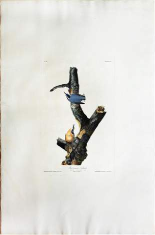 Audubon Aquatint, Red Breasted Nuthatch