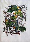 Audubon Aquatint, Carolina Parrot
