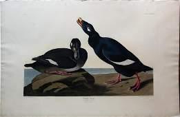 Audubon Aquatint, Velvet Duck