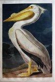 Audubon Aquatint, White Pelican