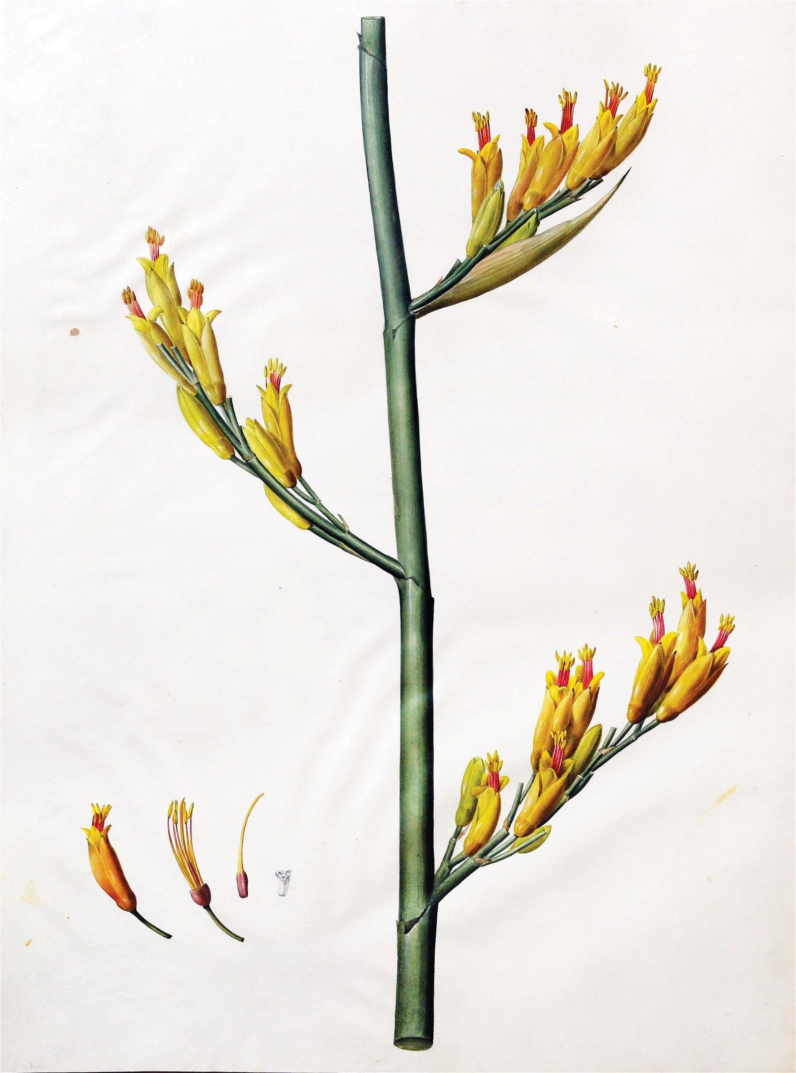 Redoute Original Watercolor, New Zealand Flax