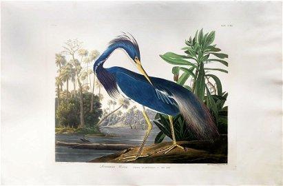 Audubon Aquatint, Louisiana Heron