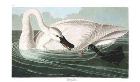 Audubon Aquatint, Trumpeter Swan