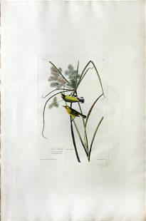 Audubon Aquatint, Prairie Warbler