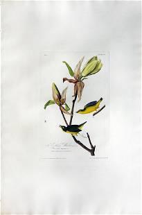Audubon Aquatint, Kentucky Warbler