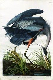 Audubon Aquatint, Great Blue Heron