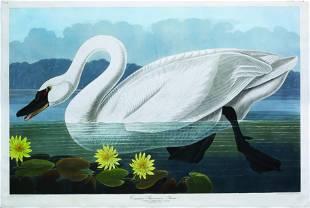 Audubon Aquatint, Common American Swan