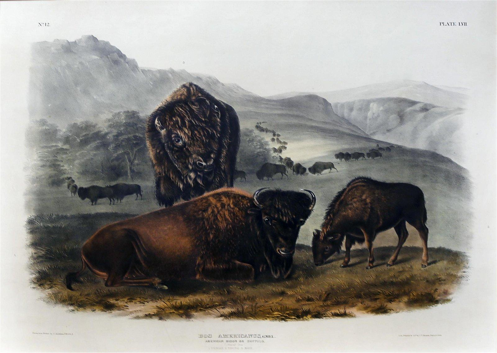 Audubon Lithograph, American Bison Female