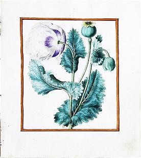 Le Moyne Watercolor of an Opium Poppy
