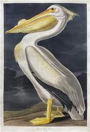 An Audubon Icon - The White Pelican