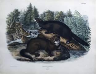 Audubon Lithograph, Mink