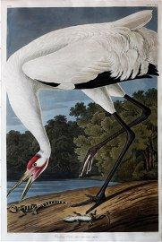Audubon Aquatint, Whooping Crane - A Masterpiece Icon