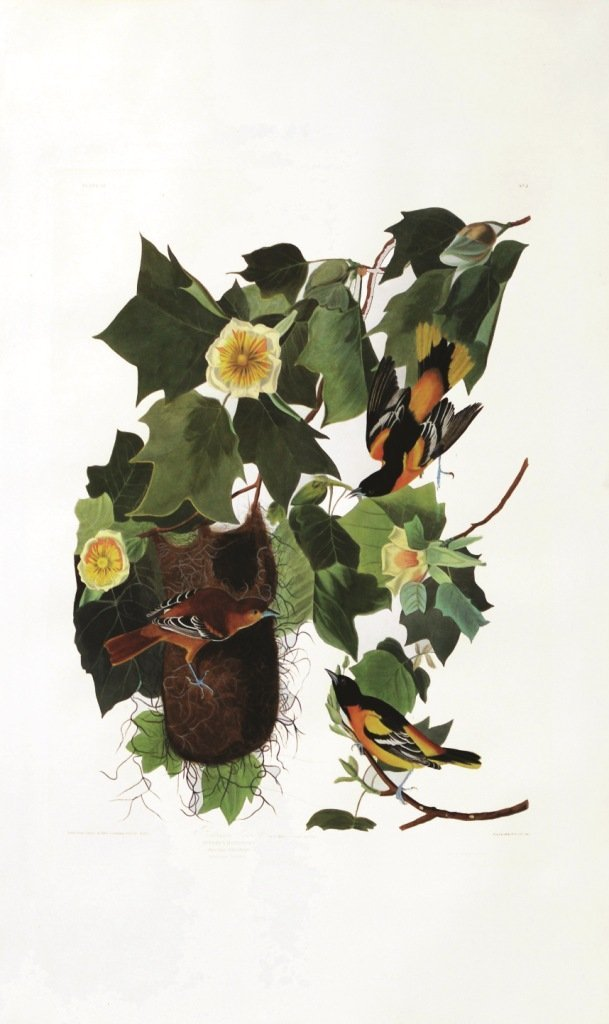 John James Audubon, Plate 12: