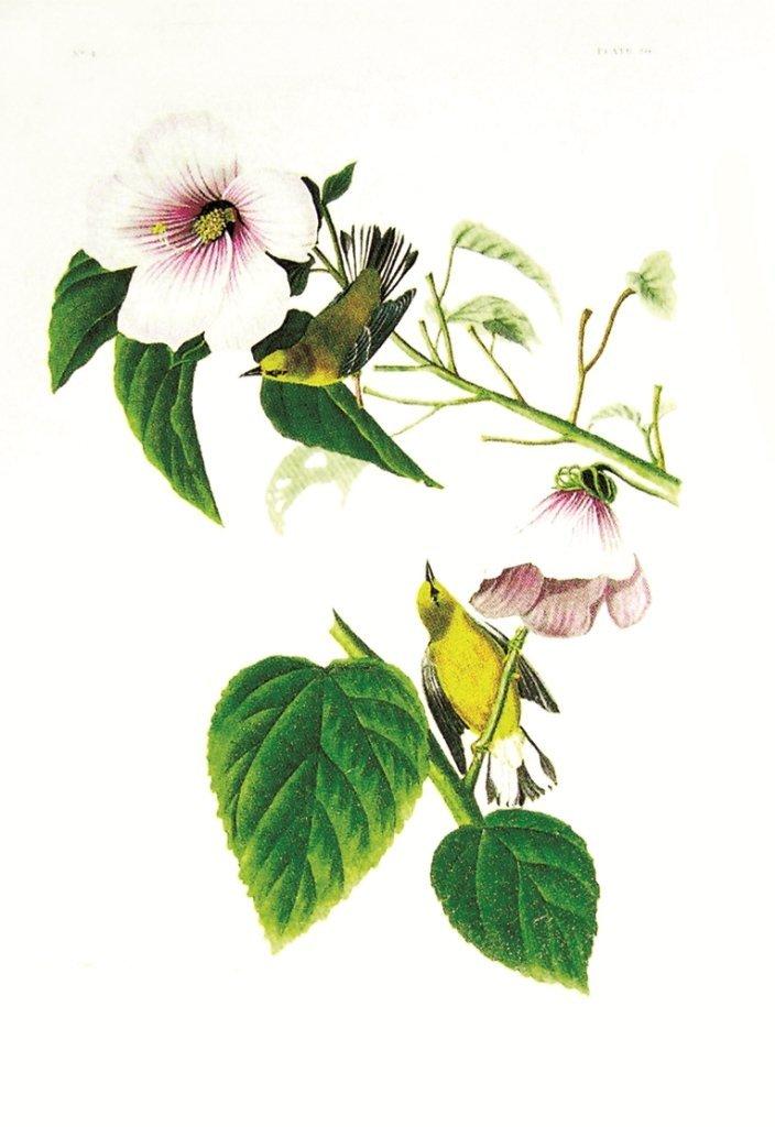 John James Audubon, Plate 20: