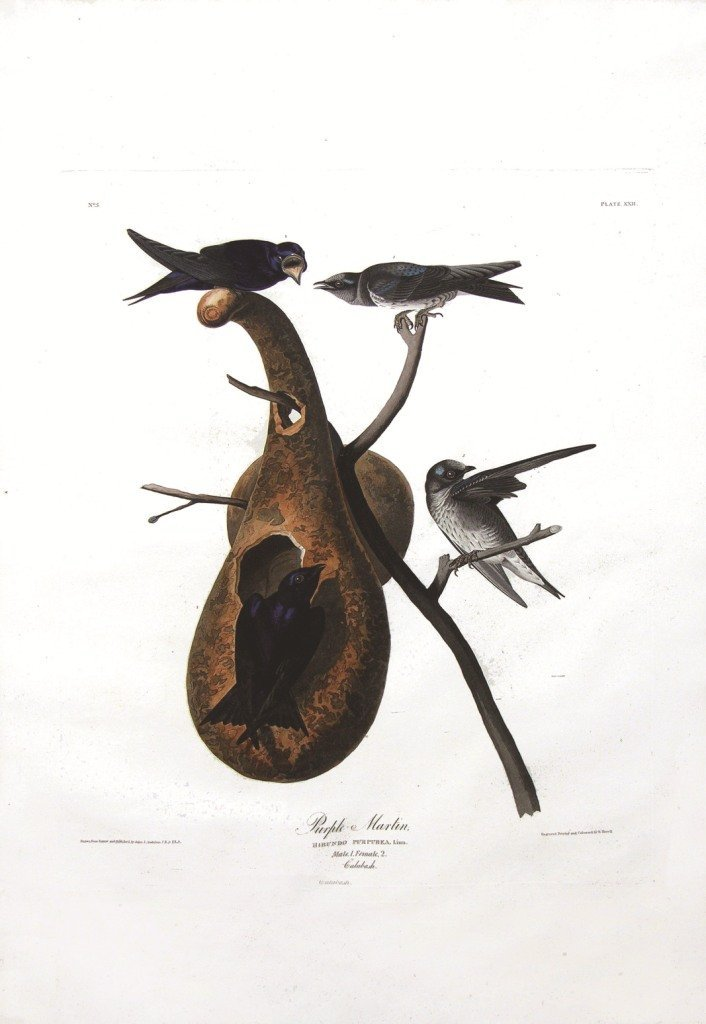 John James Audubon, Plate 22: