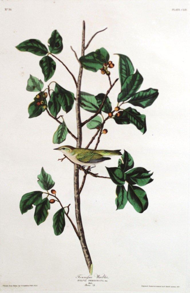 John James Audubon, Plate 31: