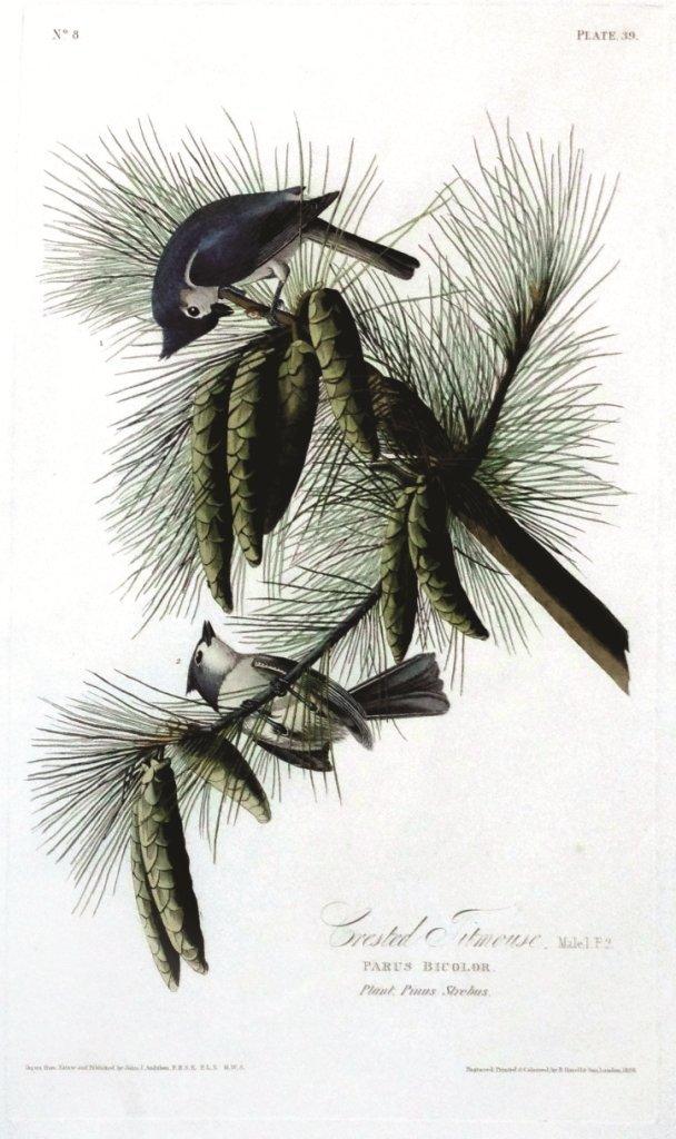 John James Audubon, Plate 39: