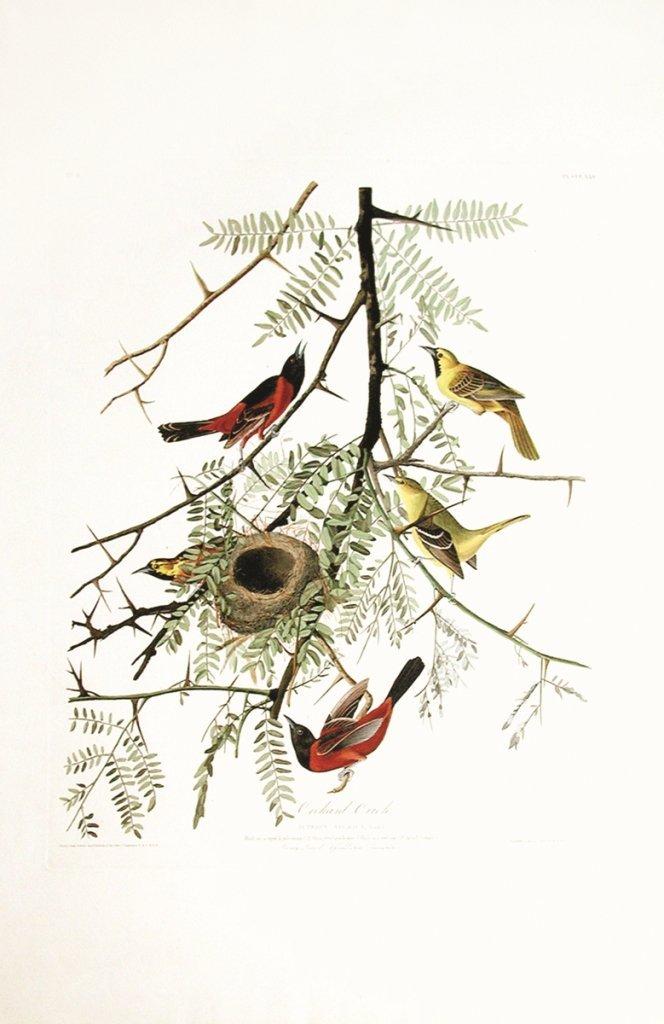 John James Audubon, Plate 42:
