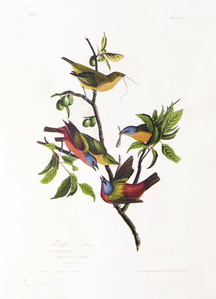 John James Audubon, Plate  53: