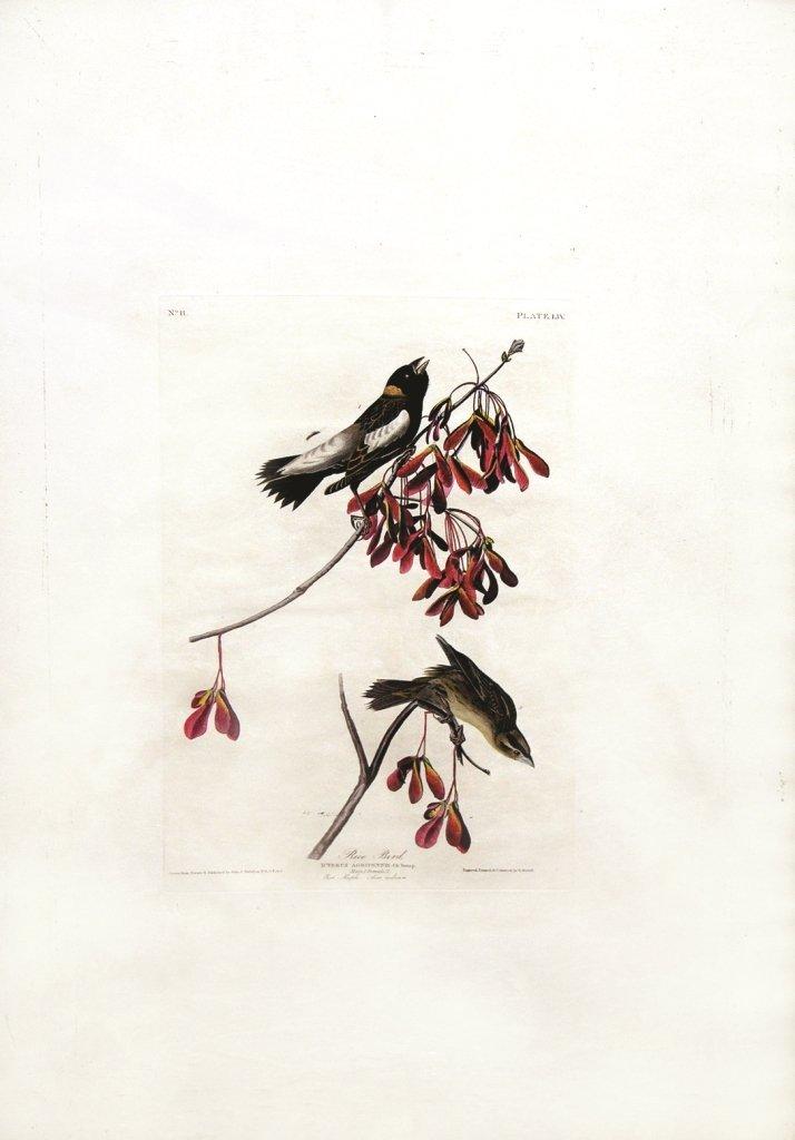 John James Audubon, Plate  54: