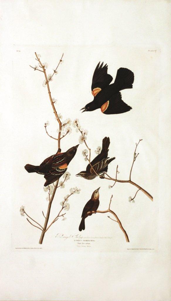 John James Audubon, Plate  67: