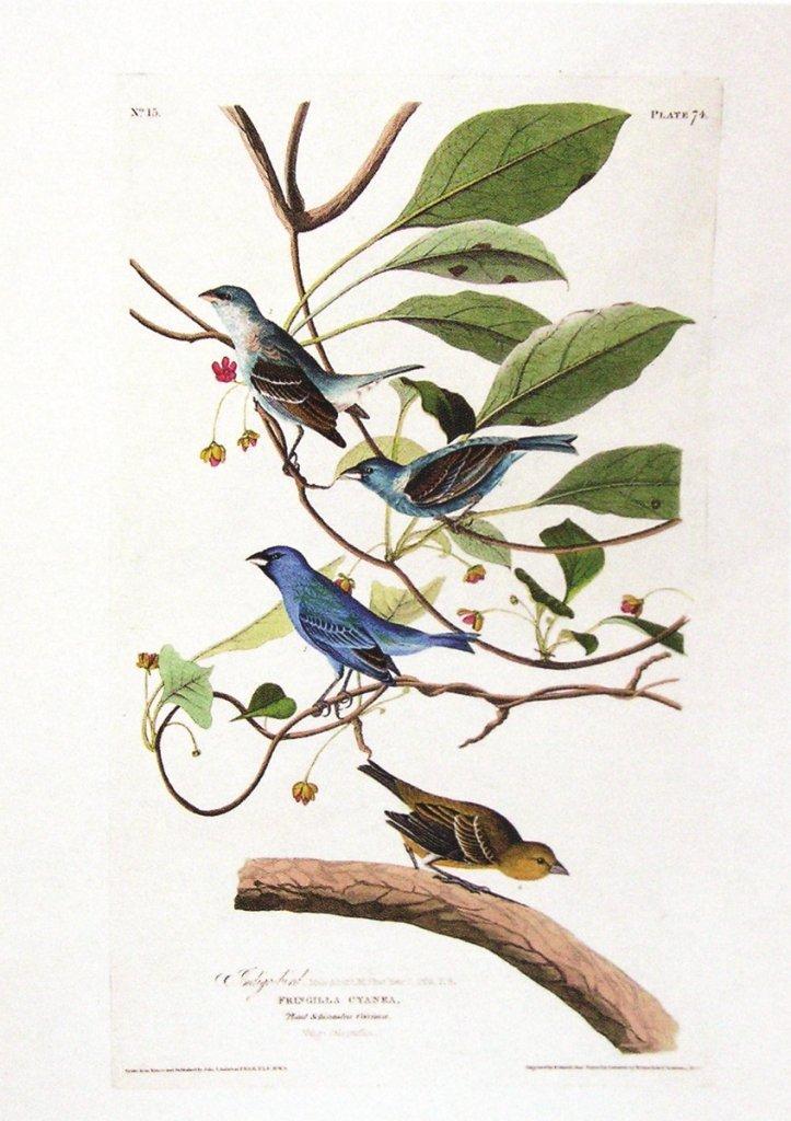 John James Audubon, Plate 74 :