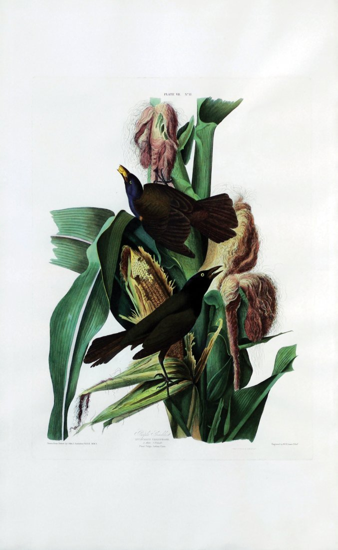 John James Audubon, Plate 7: