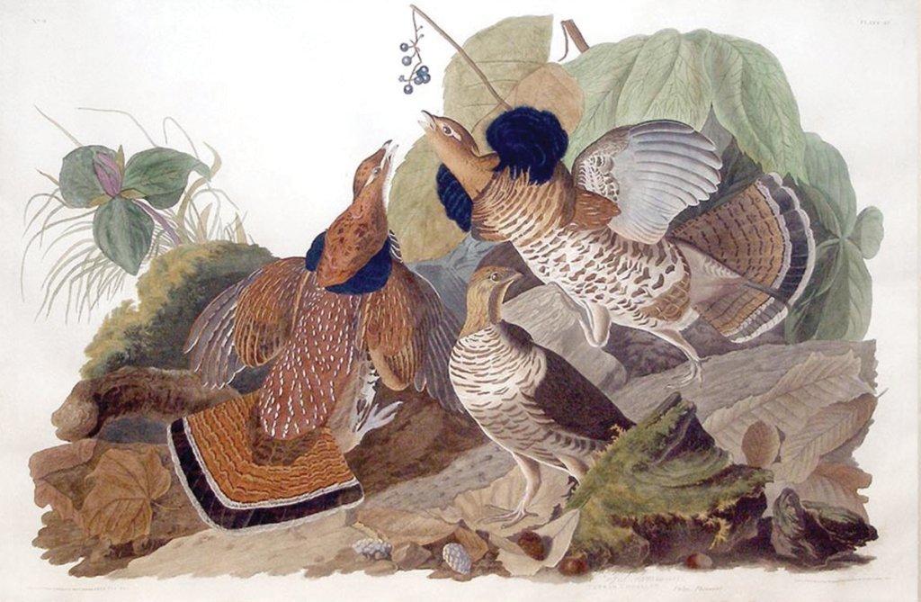John James Audubon, Plate 41: