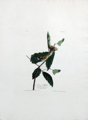 John James Audubon, Plate 50: