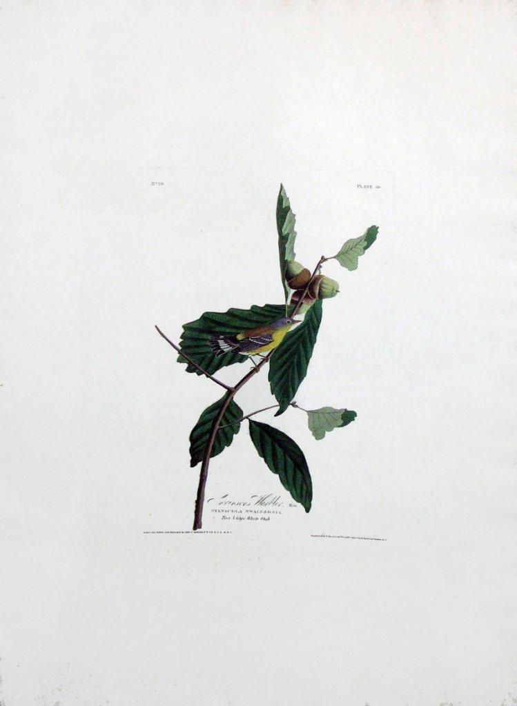 John James Audubon, Plate 50: