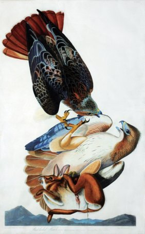 John James Audubon, Plate 51: