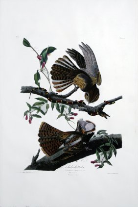 John James Audubon, Plate 52: