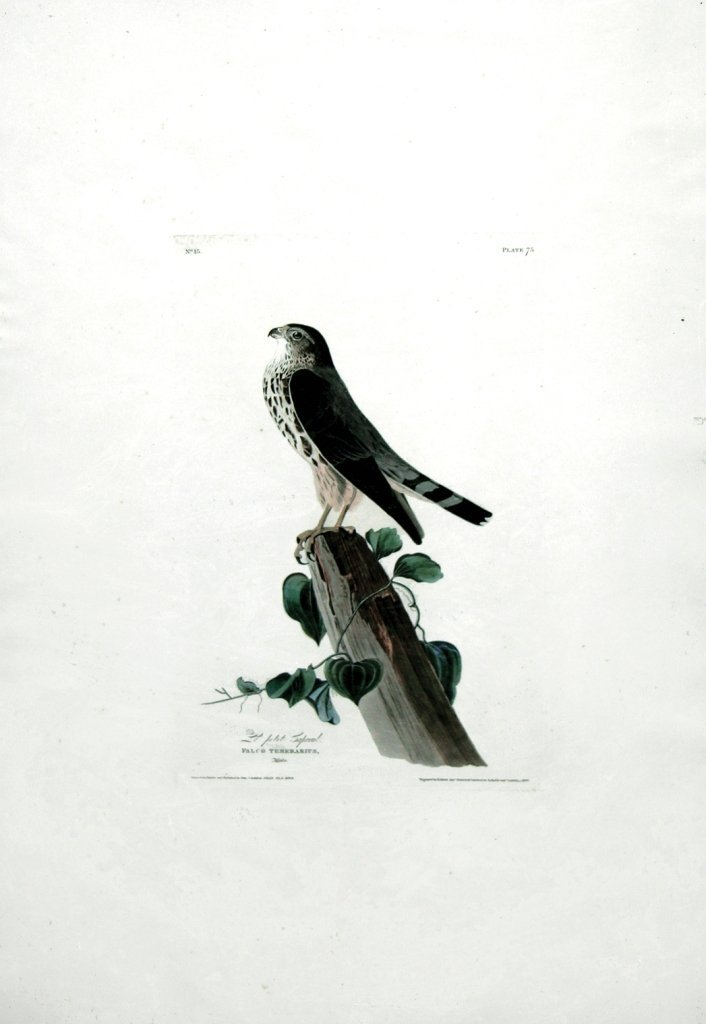 John James Audubon, Plate  75: