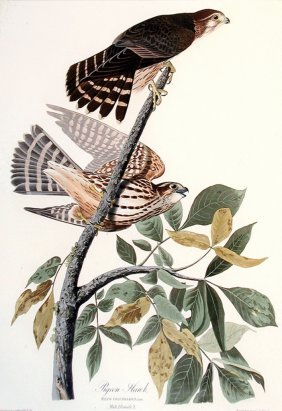 John James Audubon, Plate  92: