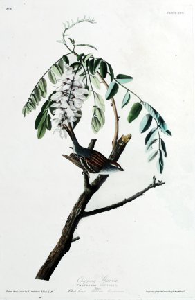 John James Audubon, Plate  104: