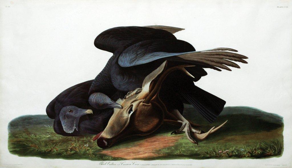 John James Audubon, Plate 106 :