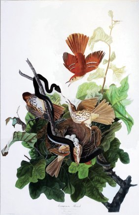 John James Audubon, Plate 116 :