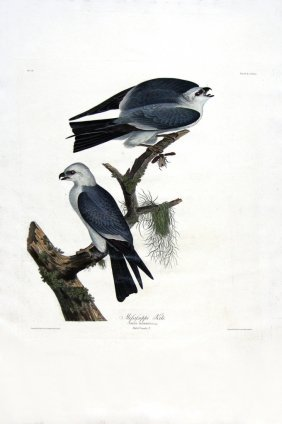 John James Audubon, Plate  117: