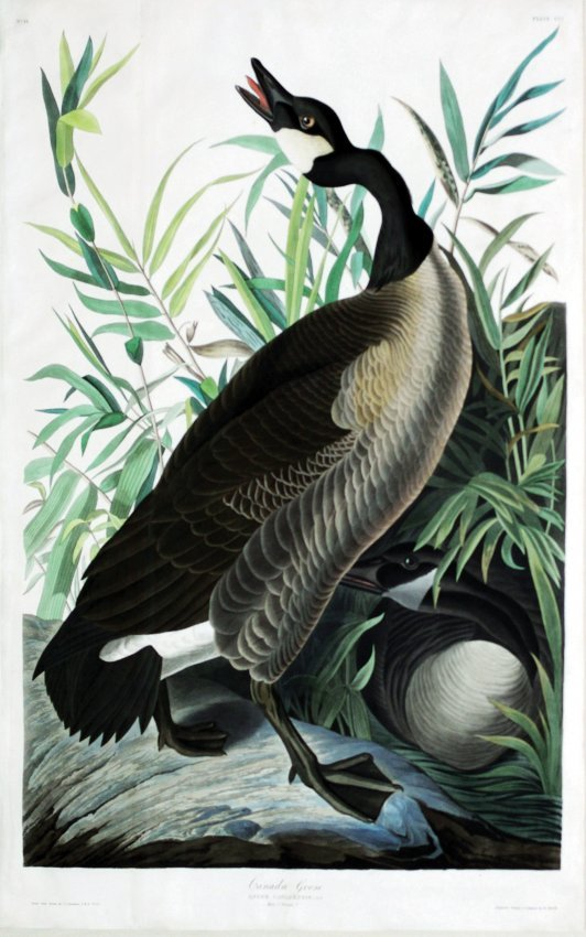 John James Audubon, Plate  201:
