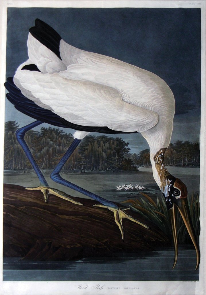 John James Audubon, Plate 216: