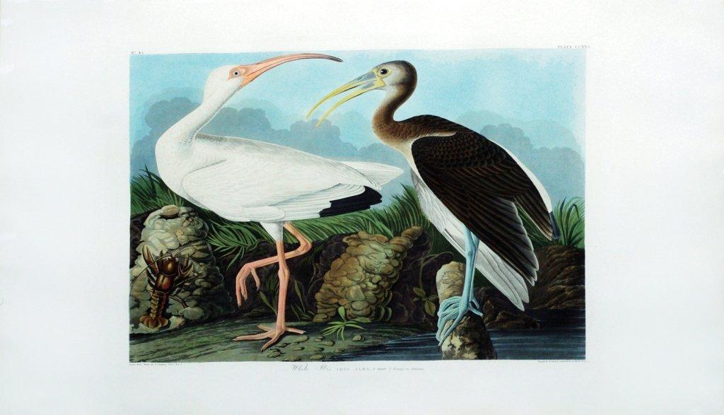 John James Audubon, Plate 222: