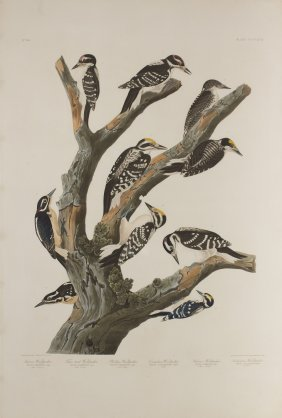 John James Audubon, Plate 417: